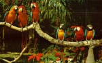 Click here to enlarge image and see more about item p30845: Parrots Posing on Tree Limb At Parrot Jungle Miami Florida p30845