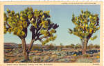 Click here to enlarge image and see more about item p30856: Joshua Trees Blooming, Joshua Tree National Monument
