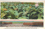 Click here to enlarge image and see more about item p30883: Tobacco Field, Lancaster County PA Postcard p30883