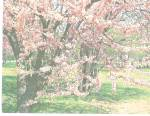 Click here to enlarge image and see more about item p31076: Oklahoma State Tree  Redbud Corsis Conadensis p31076
