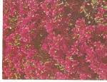 Click here to enlarge image and see more about item p31112: Flowers of the Bougainvillea Vine