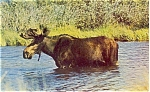 Click here to enlarge image and see more about item p3442: Moose  Postcard p3442