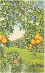 Florida's Orange Groves Postcard