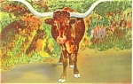 Click here to enlarge image and see more about item p3620: Texas Long Horn Steer Postcard p3620