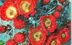 Click here to enlarge image and see more about item p38134: Claret Cup Cactus Blossoms P38134