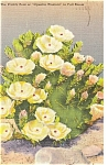 Prickly Pear in Bloom Postcard Linen WWII