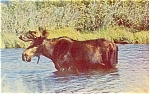 Click here to enlarge image and see more about item p3862: Wading Moose Postcard p3862