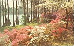 Click here to enlarge image and see more about item p3867: Azaleas and Dogwoods Postcard p3867
