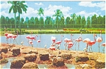 Click here to enlarge image and see more about item p3875: Flamingos at Hialeah Race Course Postcard p3875
