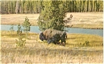 Click here to enlarge image and see more about item p3880: Buffalo at Yellowstone Postcard