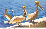 Click here to enlarge image and see more about item p3930: Pelicans Postcard