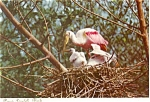 Click here to enlarge image and see more about item p3936: Roseate Spoonbills Everglades Postcard