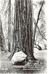 Redwood Muir Woods  Postcard Real Photo p4107