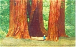 Redwoods in Muir National Monument Postcard p4147