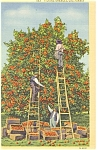 Click here to enlarge image and see more about item p4232: Picking Oranges CA Postcard  Linen