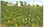 Click here to enlarge image and see more about item p4401: Tobacco Field, K.T. Postcard