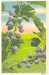 Click here to enlarge image and see more about item p4557: Ripe Figs in the South Postcard