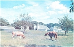 Click here to enlarge image and see more about item p4737: Farm Scene Barn and Cows  Postcard