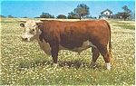 Click here to enlarge image and see more about item p4740: Beef Cattle  Postcard