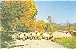 Click here to enlarge image and see more about item p4741: Flock of Sheep  Postcard