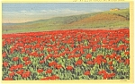 Field of Poinsettias Postcard Linen p4818