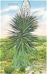 Click here to enlarge image and see more about item p4819: Texas Yucca in Bloom Postcard Linen p4819
