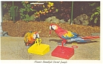 Click here to enlarge image and see more about item p5095: Macaws at Parrot Jungle Florida Postcard