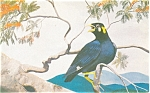 Click here to enlarge image and see more about item p5348: Javan Hill Mayna Bird Postcard p5348