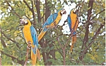 Click here to enlarge image and see more about item p5694: Blue and Gold Macaws Postcard