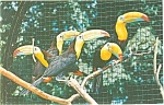Click here to enlarge image and see more about item p5695: Sulphur Breasted Toucans Postcard
