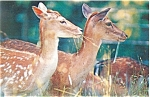 Click here to enlarge image and see more about item p5719: Fallow Deer Does Postcard p5719