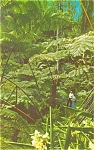 Click here to enlarge image and see more about item p5734: Hawaii National Park Fern Forest  Kilauea Crater p5734