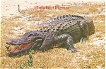 Click here to enlarge image and see more about item p5836: Alligator Postcard