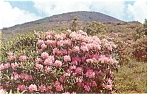 Rhododendrons in Bloom Postcard p5853