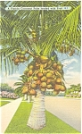 Florida  Cocoanut Palm Linen Postcard