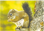 Click here to enlarge image and see more about item p6075: Pine Squirrel Postcard p6075