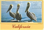 Click here to enlarge image and see more about item p6135: Pelicans Postcard