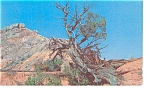 Amarillo TX Palo Tree in Palo Duro Canyon Postcard p6614