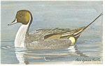 Click here to enlarge image and see more about item p7405: Pintail Duck Postcard p7405
