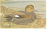 Click here to enlarge image and see more about item p7406: Gadwell Duck Postcard p7406