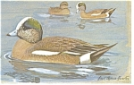 Click here to enlarge image and see more about item p7441: American Widgeon Postcard p7441