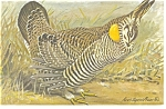Click here to enlarge image and see more about item p7443: Greater Prairie Chicken Postcard