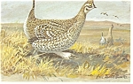 Click here to enlarge image and see more about item p7444: Sharp Tailed Grouse Postcard
