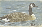 Click here to enlarge image and see more about item p7554: Canada Goose Postcard