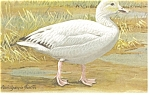 Click here to enlarge image and see more about item p7555: Snow Goose Postcard p7555