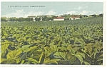 Lancaster County, PA, Tobacco Field Postcard