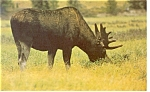 Moose, Yellowstone National Park Postcard