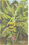 Sarasota , FL,Jungle Gardens Banana Tree Linen Postcard