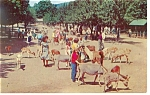 Click here to enlarge image and see more about item p7958: Catskill Game Farm Feeding Ground Postcard