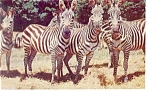 Click here to enlarge image and see more about item p7959: Catskill Game Farm Grant s Zebras Postcard p7959